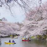 井の頭公園の桜2017開花予想!お花見ポイント場所取りは?