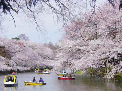 井の頭公園 桜