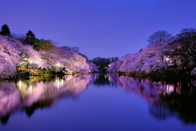 井の頭公園 夜桜