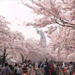 万博記念公園の桜2017開花と見ごろ夜桜と屋台はいつから?
