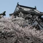 岡崎公園の桜2017開花時期と見ごろ桜祭り日程と駐車場は?