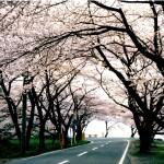 海津大崎の桜2017開花予想と見ごろは?アクセスや駐車場もチェック!