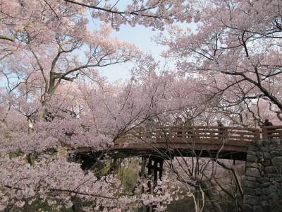 高遠桜 桜雲橋