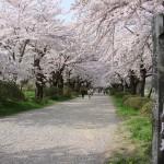 北上展勝地の桜2017開花見ごろライトアップはいつ?駐車場は?