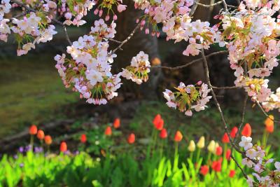 松前公園 霞桜