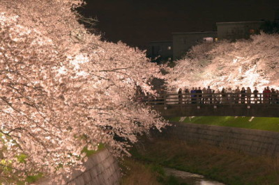 山崎川 夜桜