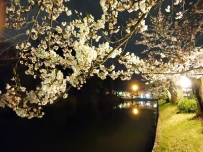 鶴岡公園 夜桜