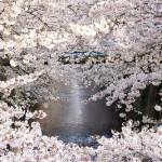 目黒川の桜2017見ごろライトアップはいつ?行き方もくわしく紹介!
