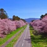 静内二十間道路桜並木2017開花は?駐車場と渋滞を避ける方法を紹介!