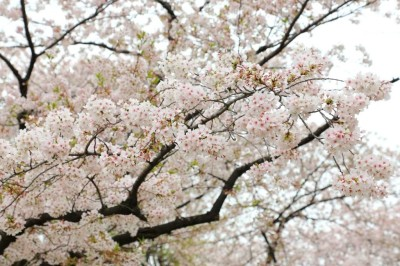 隅田公園 桜
