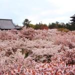 京都桜情報2017絶対に行きたくなる!厳選5つの桜の名所
