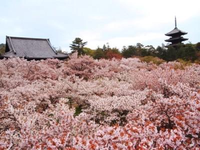 京都桜情報