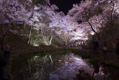 高遠桜 夜桜