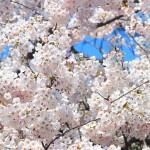 桜の花言葉と由来にはこんな意外な意味が!くわしく説明します