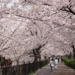 山崎川の桜2017ライトアップはあるの?最寄り駅と駐車場は?