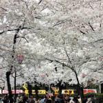鶴舞公園の桜2017屋台ビアガーデン場所取りもこれで万全!お花見を楽しめます!