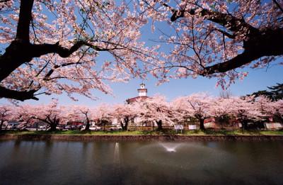 鶴岡公園 桜