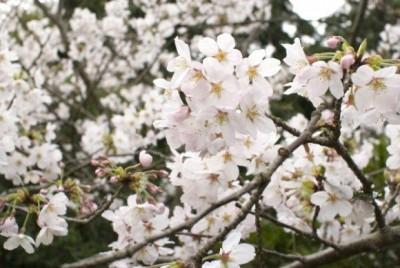 松川公園 桜