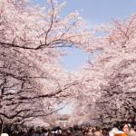 上野公園の桜2017見ごろは?場所取り屋台をお花見前にチェック!