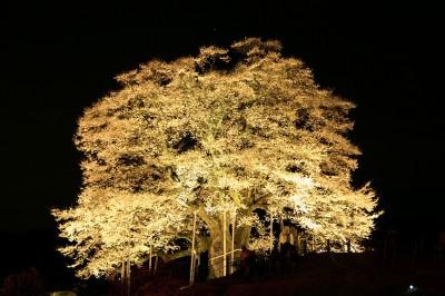 醍醐桜 夜桜