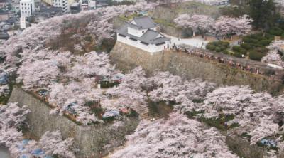 津山城鶴山公園 桜