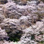吉野山の桜2017見ごろアクセス駐車場をお花見前にチェック!