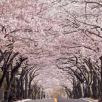 伊豆高原桜並木2017開花見ごろは?アクセス駐車場もチェック!