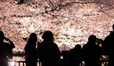 伊豆高原桜並木 ライトアップ