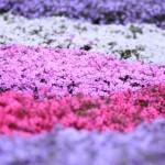 芝桜の育て方と増やし方がわかった!肥料や刈り込みのコツも紹介!