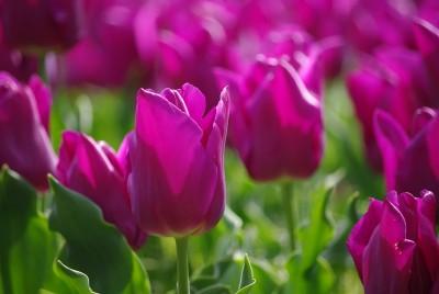 チューリップ 紫
