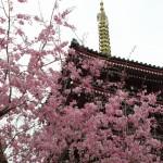 本土寺の桜2017開花見ごろは?アクセス駐車場や混雑もチェック!