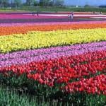 チューリップの花言葉は色別でこんなに違うなんて!色別の花言葉をチェック!