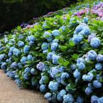 神戸市立森林植物園あじさい2018見ごろ開花情報!アクセスは?