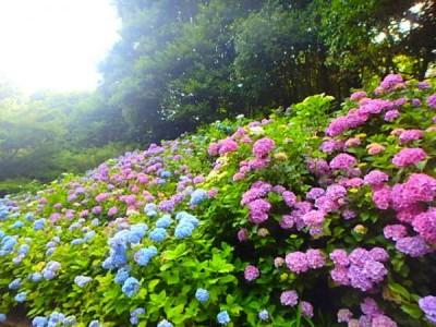 神戸森林植物園 あじさい
