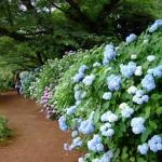 神代植物公園あじさい見ごろ開花状況!アクセス駐車場は?