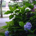 浮間公園のあじさい見ごろ開花状況!アクセス駐車場は?