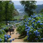舞鶴自然文化園あじさい2018見ごろ開花状況!アクセス駐車場は?