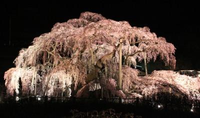 三春滝桜 夜桜