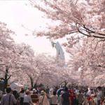 万博記念公園の桜2020開花と見ごろ夜桜と屋台はいつから?