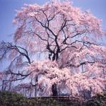 京都円山公園しだれ桜2019開花見ごろライトアップはいつから?