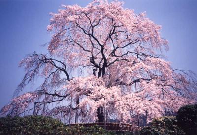 京都 円山公園 桜