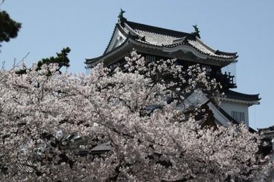 岡崎城 桜