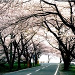 海津大崎の桜2020開花予想と見ごろは?アクセスや駐車場もチェック!