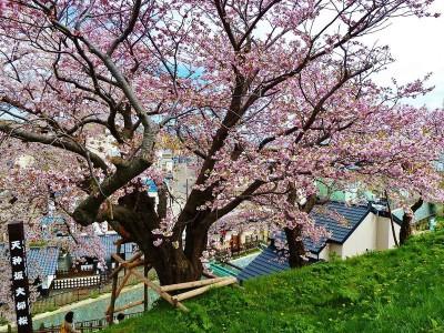 松前公園 夫婦桜