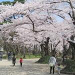 千秋公園(秋田)桜2020開花予想と見ごろ駐車場はあるの?