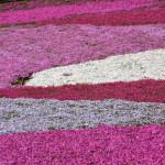 関東の芝桜名所ぜひとも行きたいTOP3!芝桜の見ごろと魅力も紹介
