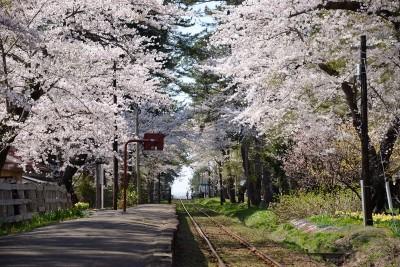 芦野公園駅 桜