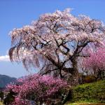 又兵衛桜(奈良)2020開花は?お花見シーズンの渋滞を避ける方法!