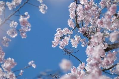 芦野公園 桜