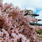 松前公園(北海道)の桜2019開花見ごろは?お花見前にチェック!